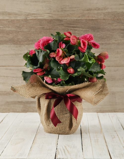 love-and-romance: Begonia Plant in Hessian Wrapping!