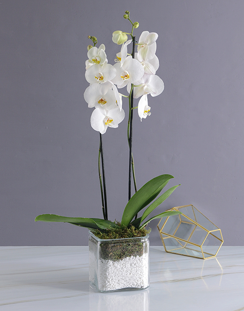 plants: Phalaenopsis Orchid Duo!