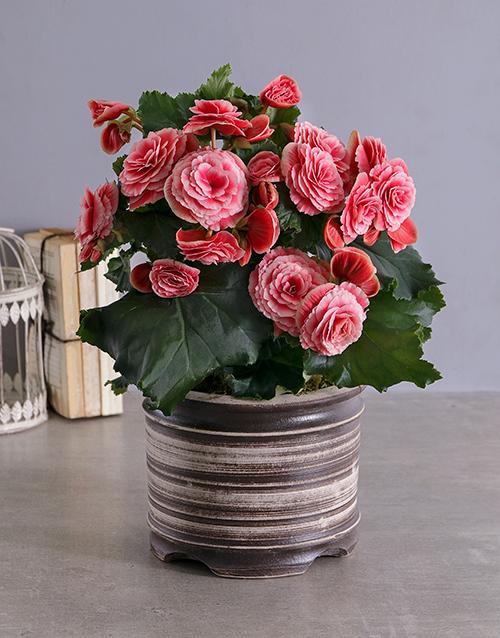 buy begonia plant in a ceramic pot netflorist