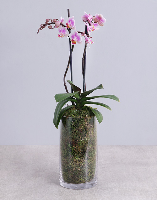 orchids: Phalaenopsis Orchid in Glass Vase!