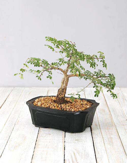 bonsai: Small 4 Year Old Bonsai!