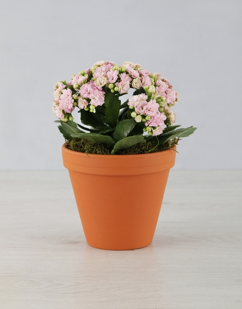 teachers-day: Kalanchoe Pot Plant!
