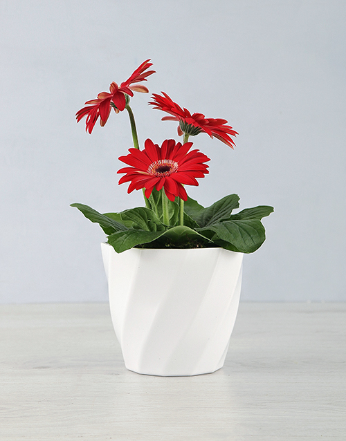 secretarys-day: Mini Gerbera Planter in a Planter Pot!