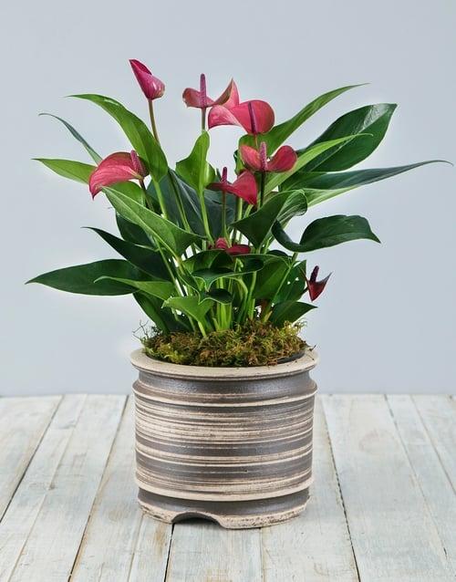 anthurium: Anthurium Plant in Pot!