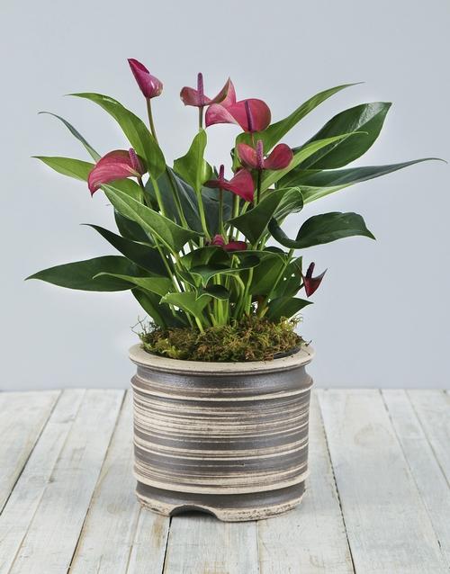 anniversary: Anthurium Plant in Pot!