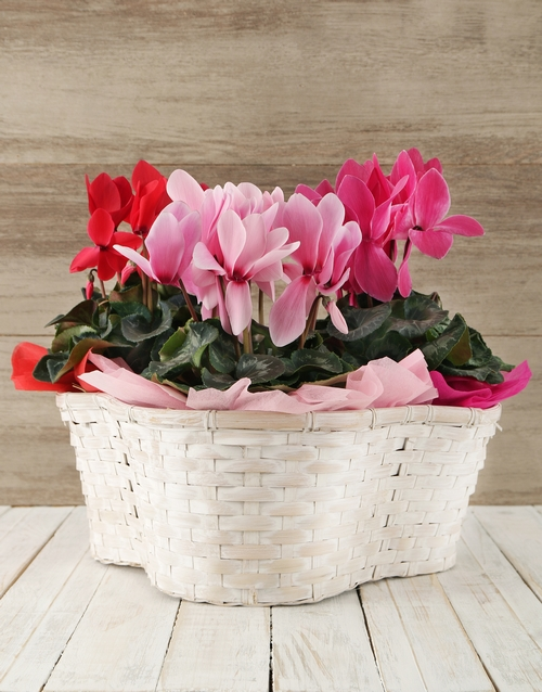 cyclamen: Mixed Cyclamens in a Crysanth Basket!