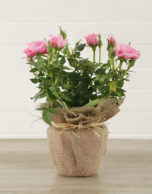 prices: Pink Rose Bush in Hessian Wrapping!