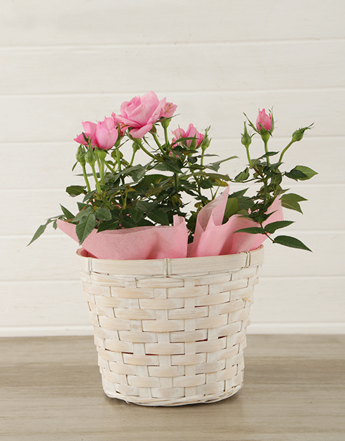 prices: Pink Rose Bush in Planter!