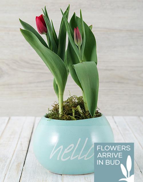 tulips: Red Tulip Plant in Hello Pot!
