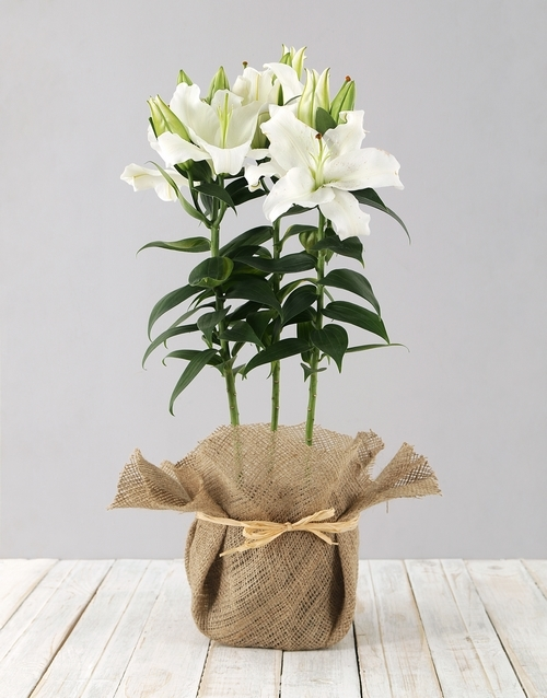 plants: Casablanca Lily in Hessian!