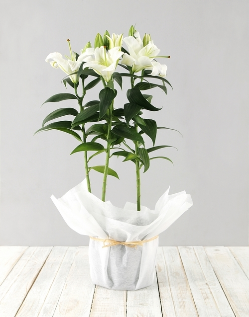christmas: Casablanca Lily in white paper!
