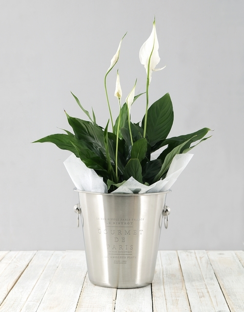 lily: Spathiphyllum in Ice Bucket!