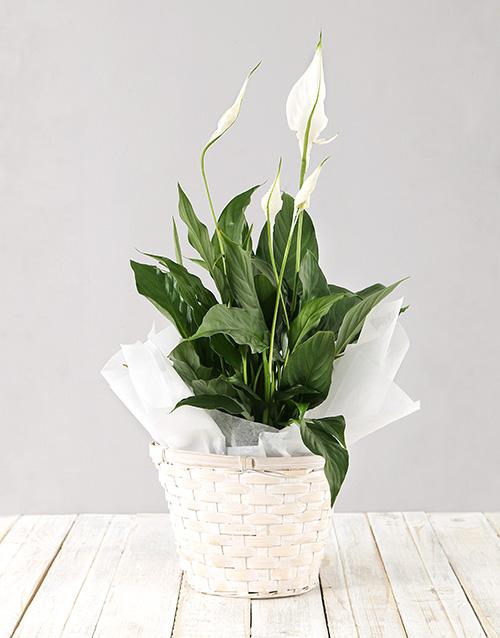 flowering: Spathiphyllum Planter!