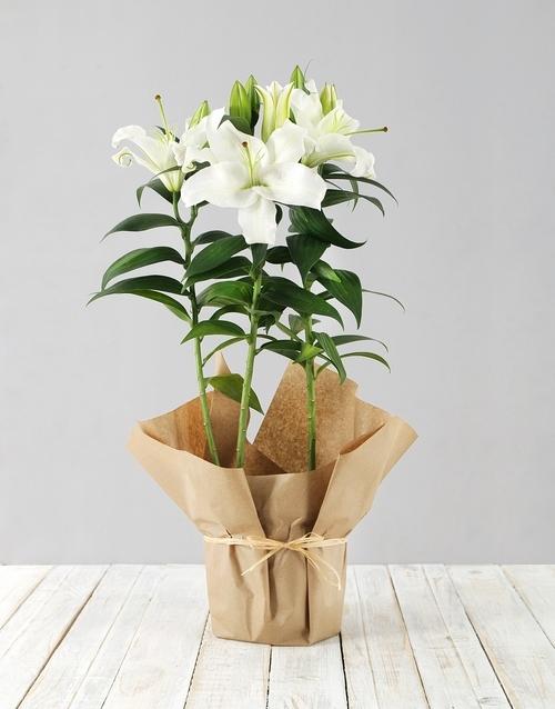 colour: Casablanca Lily Plant in Brown Paper!