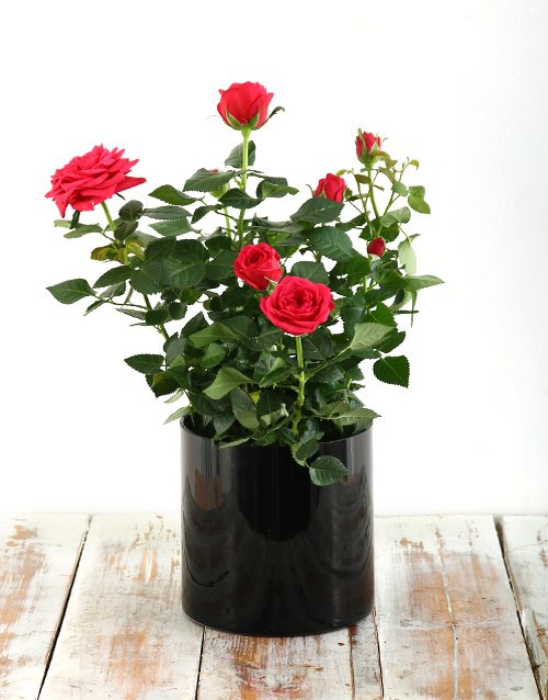 love-and-romance: Rose Bush in a Black Cylinder Vase!