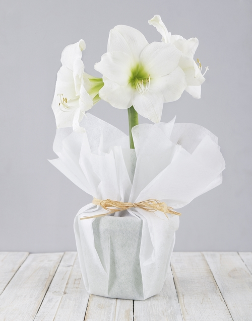 flowering: White Amaryllis Plant!