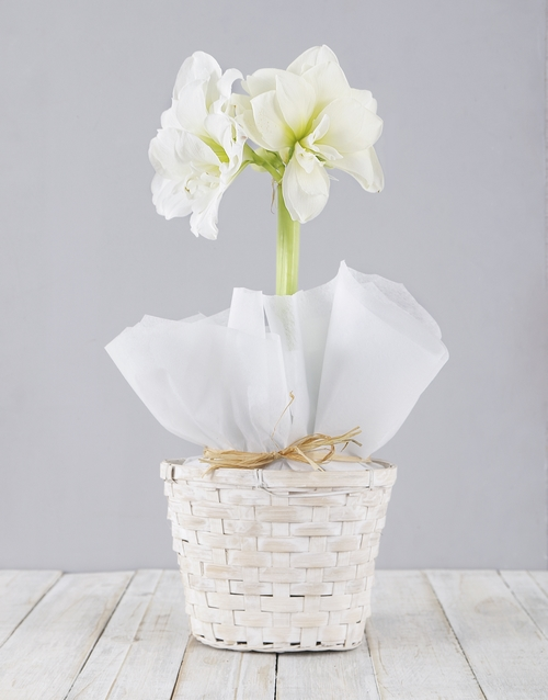 colour: White Amaryllis Basket!