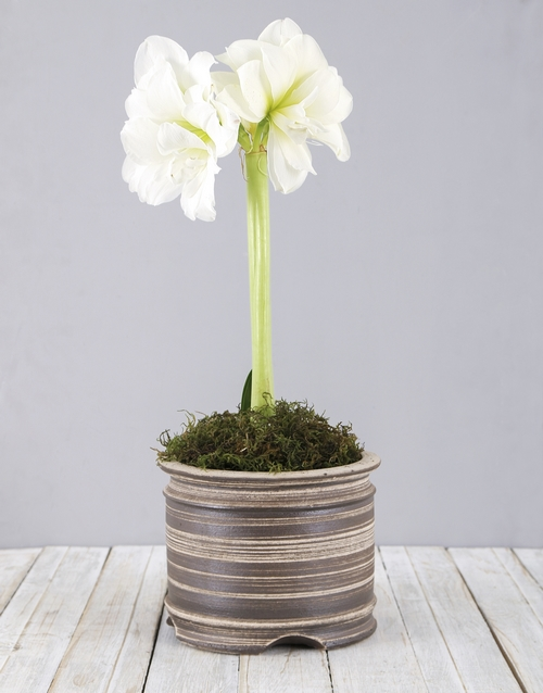 flowers: White Amaryllis Pot!