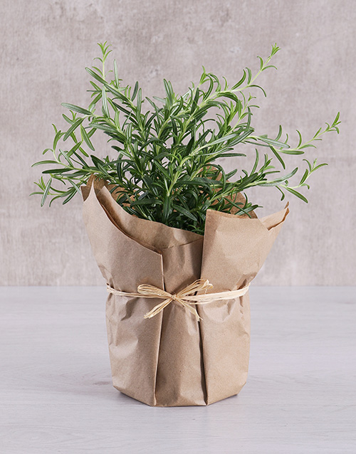herbs: Rosemary Plant in Brown Paper!