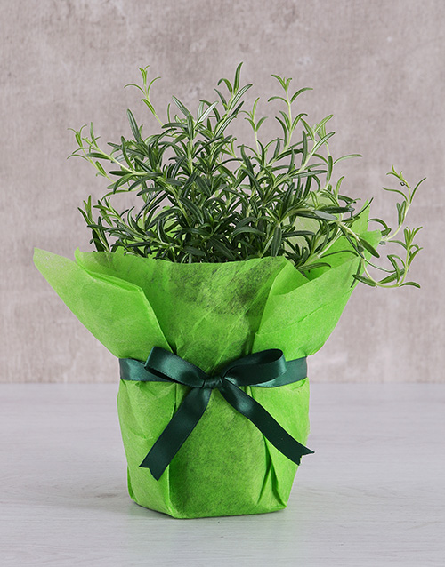herbs: Rosemary Plant in Tissue Paper!
