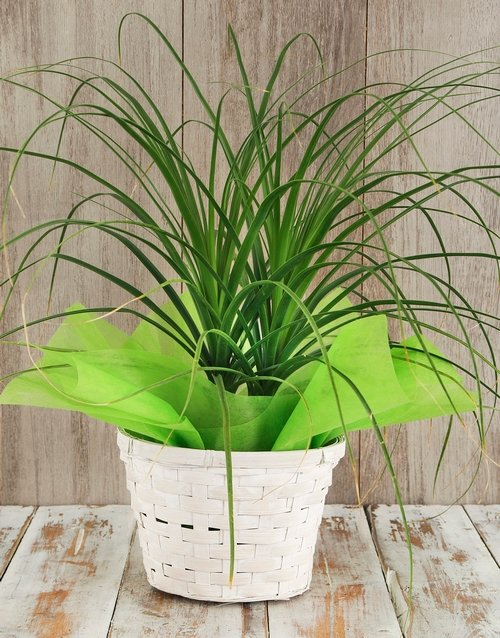 prices: Ponytail Palm in Basket!