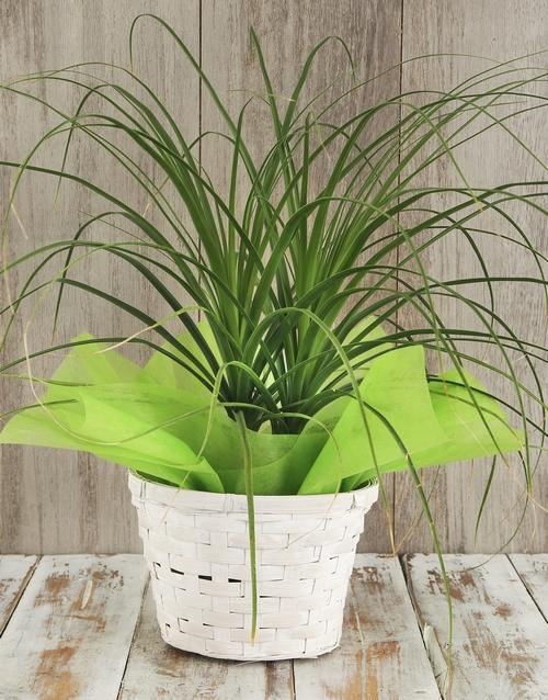 beaucarnea: Ponytail Palm in Basket!