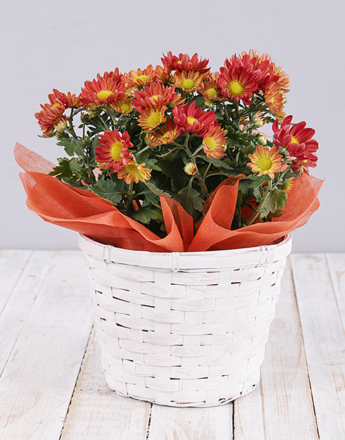 flowering: Orange Chrysanthemum Plant Basket!