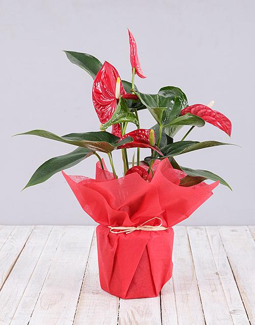 flowering: Anthurium Plant !