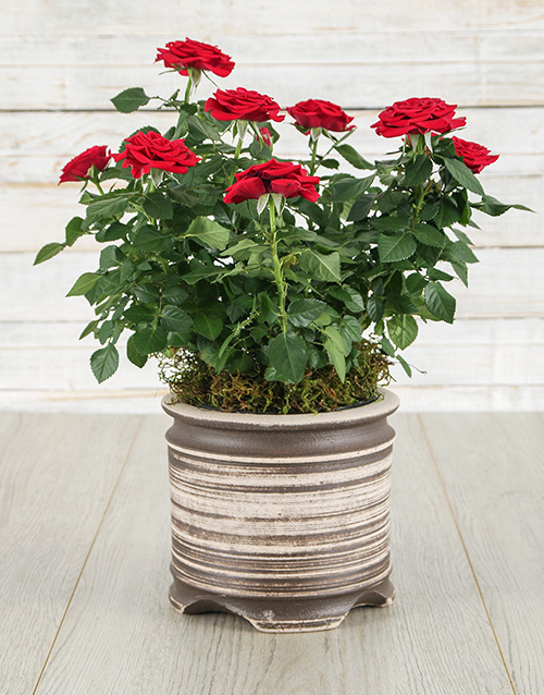 flowers: Red Roses Bush in a Ceramic Pot!