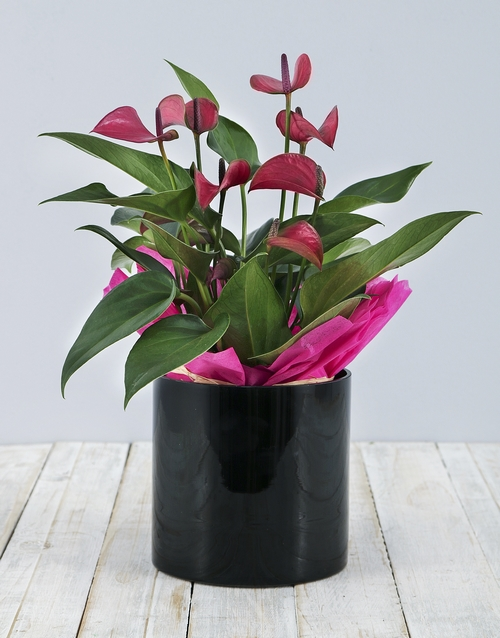 vase: Anthurium in Black Cylinder Vase!