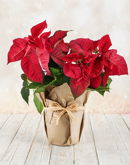 plants: Poinsettia Wrapped in Craft Paper!
