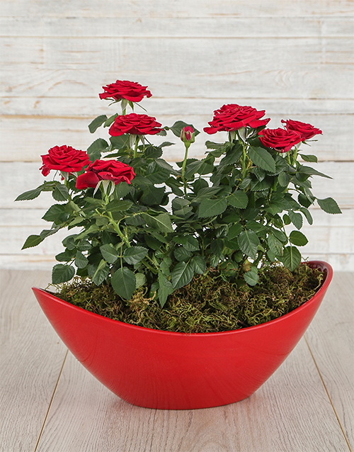 love-and-romance: Red Rose Bush in Red Boat Vase!