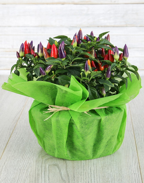 colour: Mixed Hottie Chilli Plant!