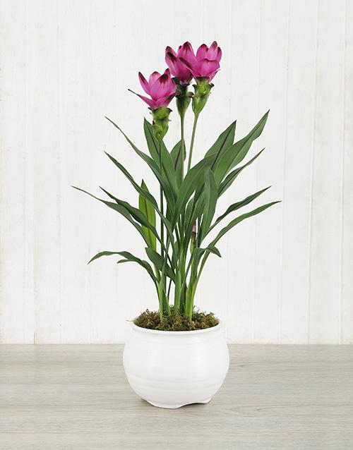 lilies: Purple Curcuma Plant in White Pottery!