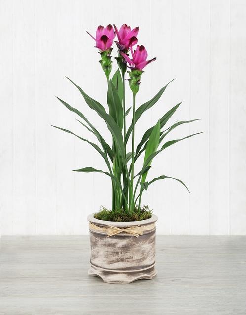 lilies: Purple Curcuma Plant in Pot!