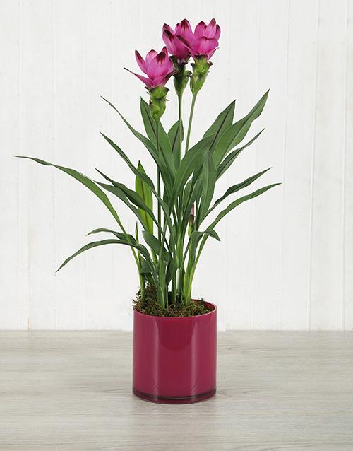 colour: Purple Curcuma Plant in Pink Cylinder Vase!