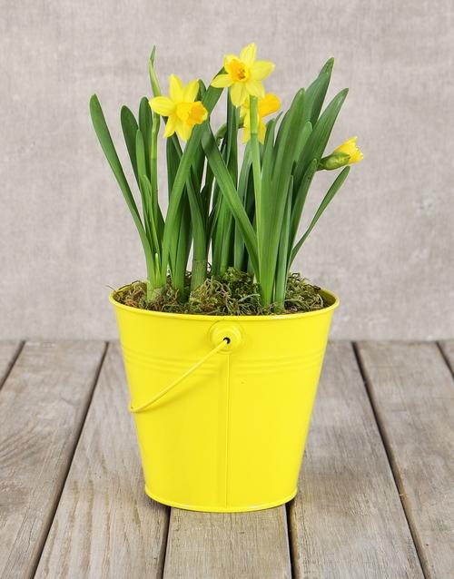 flowering: Daffodil Plant in Yellow Bucket!