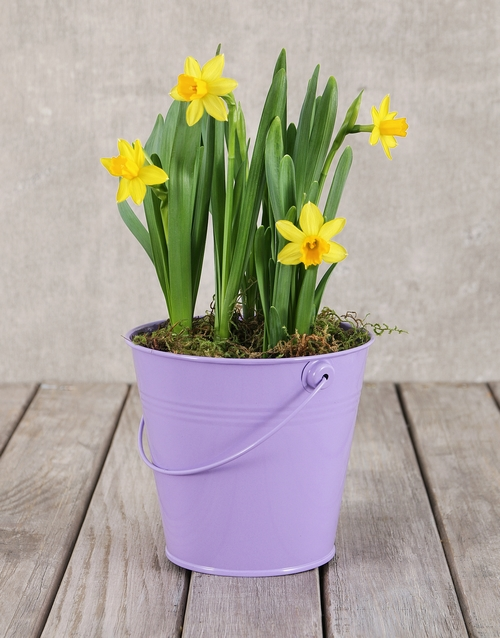 prices: Daffodil Plant in Purple Bucket!