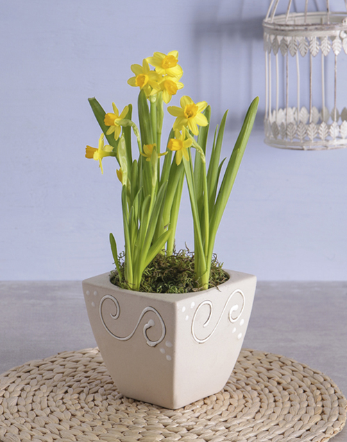 easter: Daffodil Plant  in Square Pot!