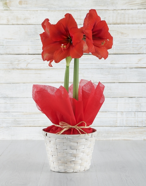 colour: Red Amaryllis in White Basket!