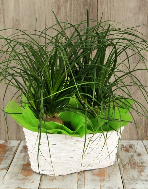 green: Double Ponytail Palm Basket!