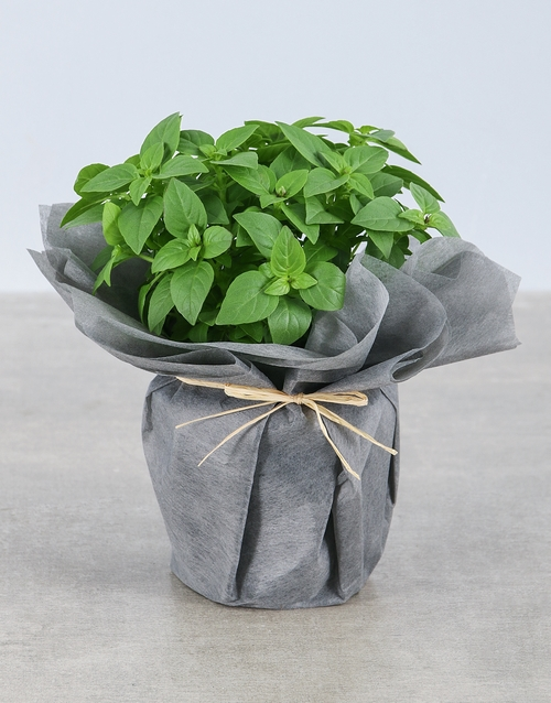 herbs: Basil Herbs in Wrapping!
