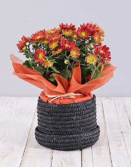 colour: Chrysanthemum Plant in Hat Box!