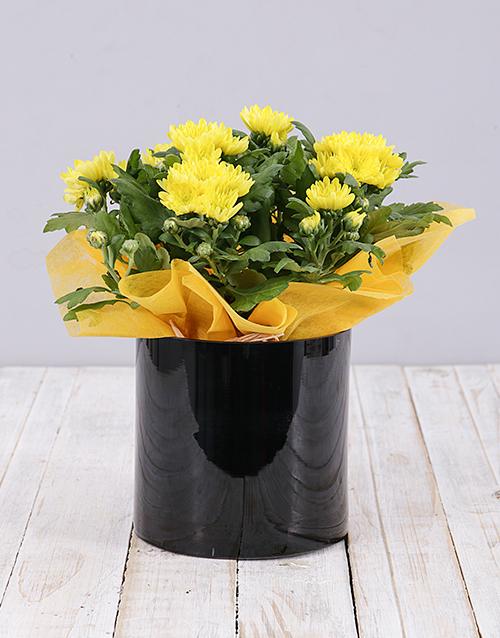 apology: Yellow Chrysanthemum Plant in Black Cylinder Vase!
