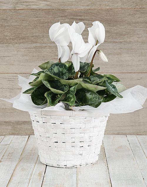 seasonal: White Cyclamen in a Chrysanth Basket!