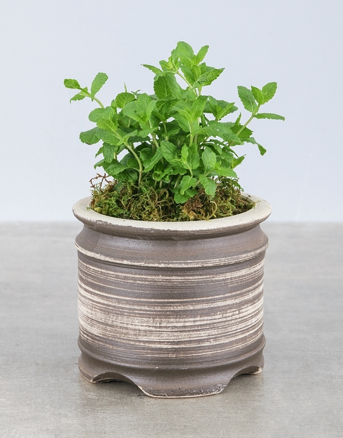 plants: Mint Herbs in Ceramic Pot!