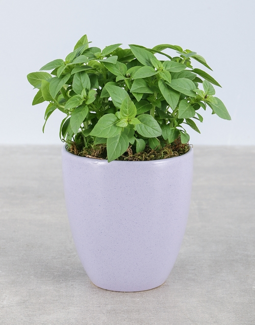 herbs: Basil Herbs in Glazed Pot!