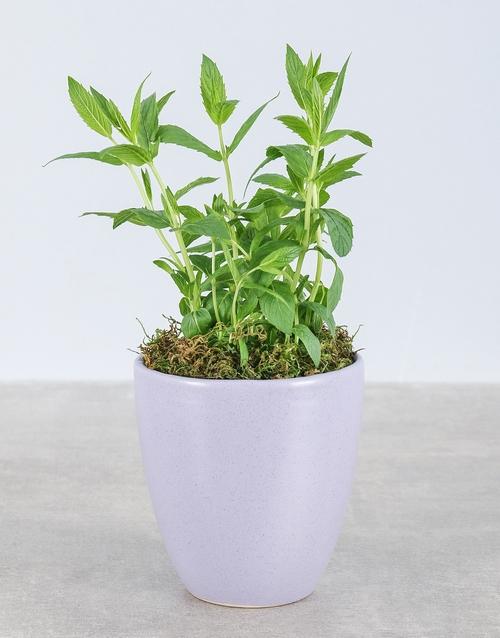 herbs: Mint Plant in Glazed Pot!