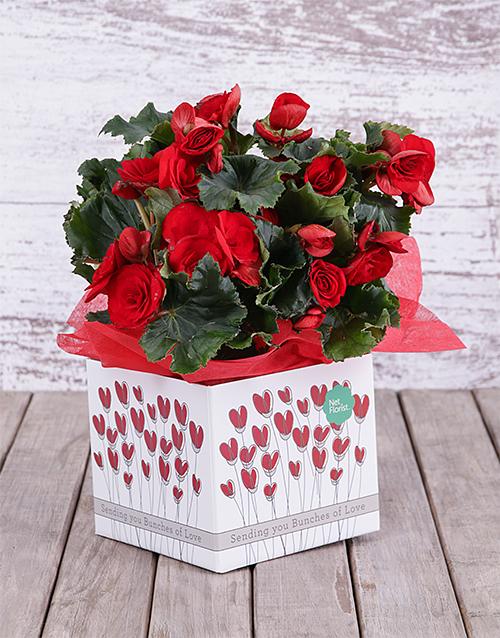 colour: Begonia Love Box!