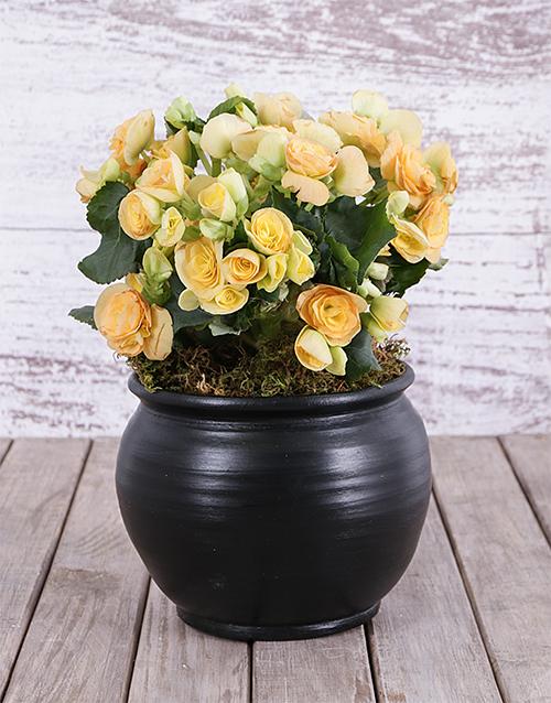 flowering: Begonia in Black Pottery!